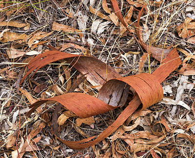 Photograph - Eucalyptus Bark - Canberra - Australia  by Steven Ralser