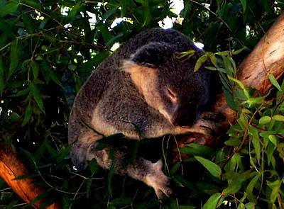 Eucalyptus Daze Art Print by Douglas Kriezel