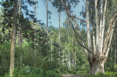 Photograph - Eucalyptus Forest 2 by Peter Dyke