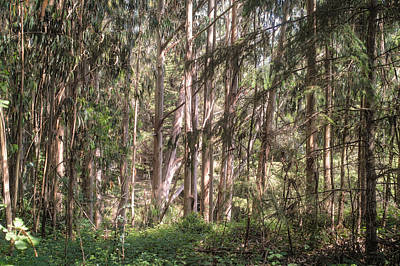 Photograph - Eucalyptus Forest by Peter Dyke