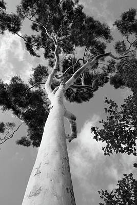 Photograph - Eucalyptus by Scott Rackers