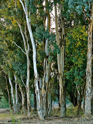 Ojai Wall Art - Photograph - Eucalyptus Trees by Liz Vernand
