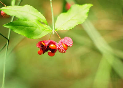 Photograph - Euonymus Americanus  American Strawberry Bush by Rebecca Sherman