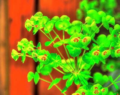 Photograph - Euphorbia Blossoms by Jerry Sodorff