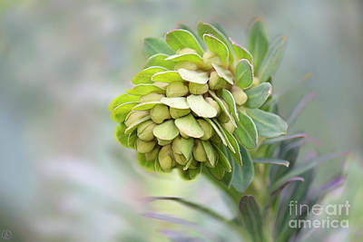 Art Print featuring the photograph Euphorbia by Linda Lees