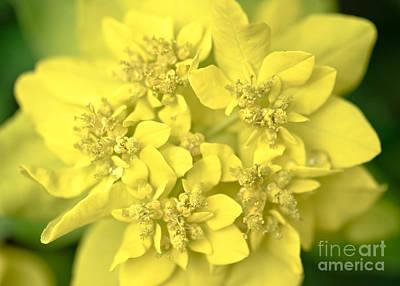Spurge Photograph - Euphorbia Macro by Alexander Kunz