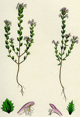 Herbaceous Painting - Euphrasia Or Eyebright by Unknown