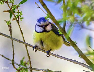 Photograph - Eurasian Blue Tit, Cyanistes Caeruleus by Elenarts - Elena Duvernay photo