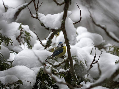 Photograph - Eurasian Blue Tit In Winter 22 by Ismo Raisanen