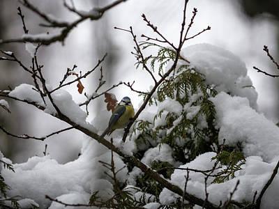 Photograph - Eurasian Blue Tit In Winter by Ismo Raisanen