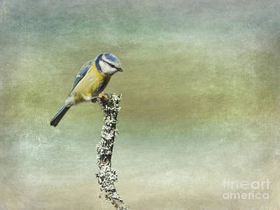 Photograph - Eurasian Blue Tit  by Liz Leyden