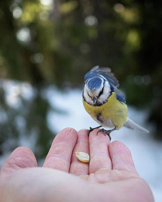 Photograph - Eurasian Blue Tit Lunch Time by Ismo Raisanen