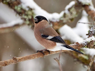 Photograph - Eurasian Bullfinch Female by Jouko Lehto