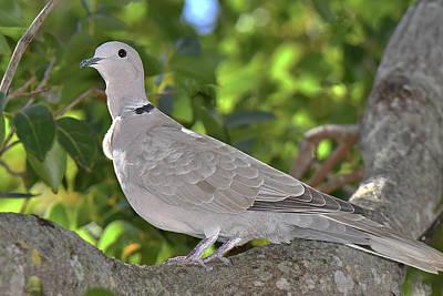 Photograph - Eurasian Collared-dove by Alan Lenk