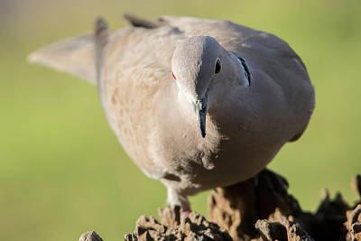 Photograph - Eurasian Collared Dove by Darren Wilkes
