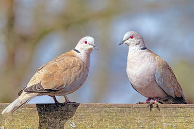 Photograph - Eurasian Collared Doves by Nadia Sanowar