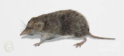 Mice Painting - Eurasian Common Shrew Sorex Araneus - Musaraigne Carrelet - Musa by Urft Valley Art
