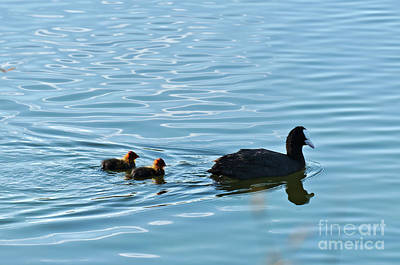 Photograph - Eurasian Coot And Offspring In Ria Formosa. Algarve, Portugal by Angelo DeVal
