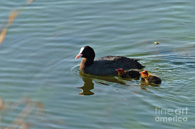 Photograph - Eurasian Coot And Offspring In Ria Formosa by Angelo DeVal