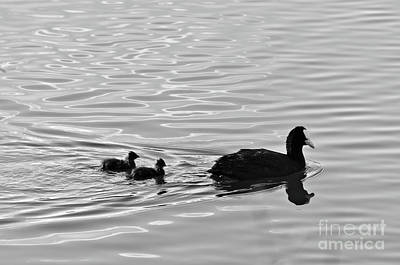 Photograph - Eurasian Coot And Offspring In Ria Formosa, Portugal. Monochrome by Angelo DeVal