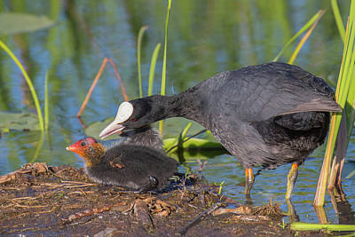 Photograph - Eurasian Coot - Fulica Atra. Mamma And Chick. It Is So Pretty An by Jivko Nakev