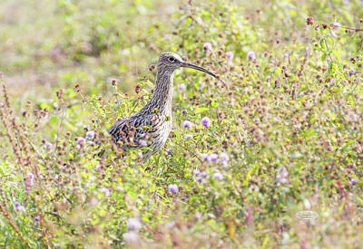 Photograph - Eurasian Curlew, Numenius Arquata, Bird, Switzerland by Elenarts - Elena Duvernay photo