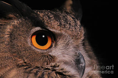 Photograph - Eurasian Eagle-owl #3 by Judy Whitton