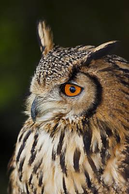 Eurasian Eagle-owl Bubo Bubo Art Print