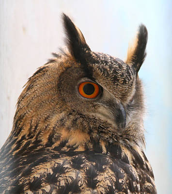 Photograph - Eurasian Eagle-owl by Ed  Riche