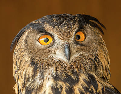 Photograph - Eurasian Eagle Owl Face by Loree Johnson