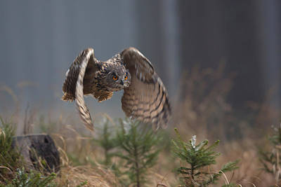 Hunting Bird Photograph - Eurasian Eagle-owl by Milan Zygmunt