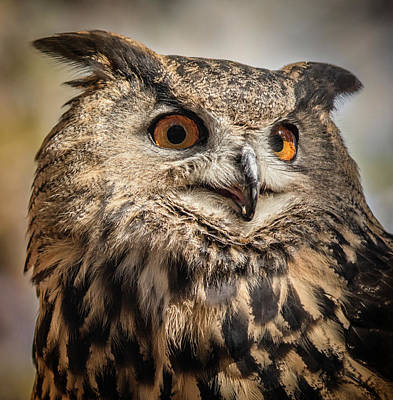 Photograph - Eurasian Eagle Owl Portrait by Teresa Wilson