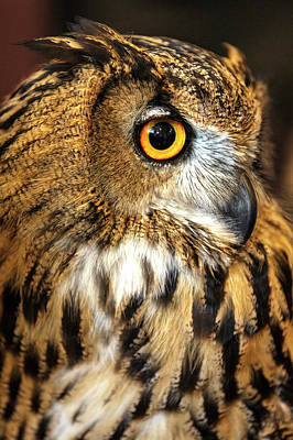 Photograph - Eurasian Eagle Owl Profile II by Wes and Dotty Weber