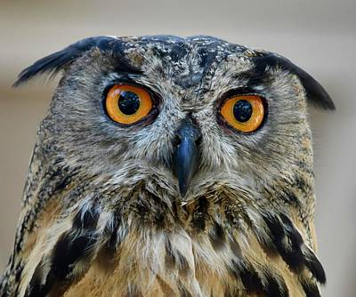 Photograph - Eurasian Eagle Owl by Richard Bryce and Family