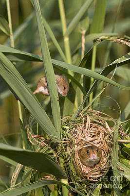 Mouse Photograph - Eurasian Harvest Mice At Nest by Jean-Louis Klein & Marie-Luce Hubert