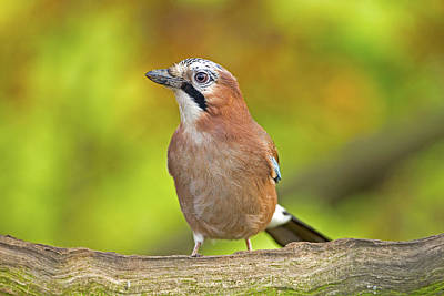 Photograph - Eurasian Jay by Paul Scoullar