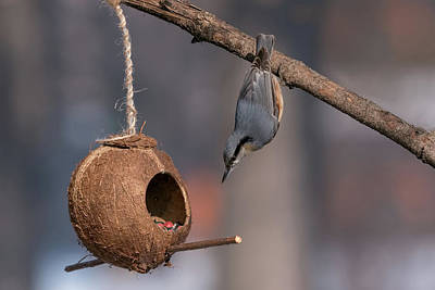 Photograph - Eurasian Nuthatch Sitta Europaea Taking Nuts From Bird Feeder by Julian Popov