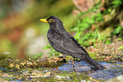 Photograph - Eurasian Or Common Blackbird, Turdus Merula by Elenarts - Elena Duvernay photo