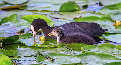 Abstract Airplane Art Rights Managed Images - Eurasian or common coot, fulicula atra, duck and duckling Royalty-Free Image by Elenarts - Elena Duvernay photo
