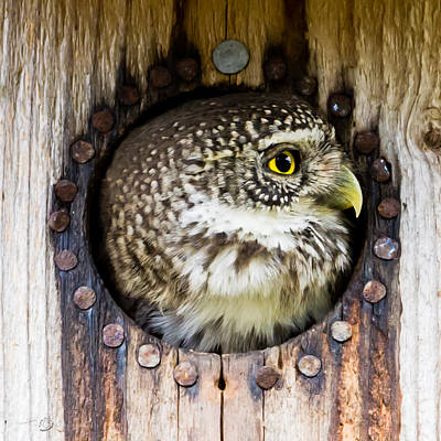 Pygmy Owl Wall Art - Photograph - Eurasian Pygmy Owl In Profile by Torbjorn Swenelius