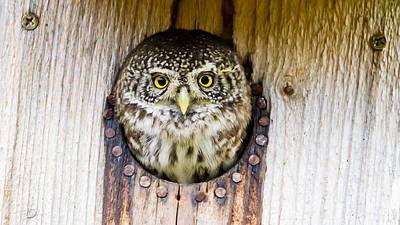 Pygmy Owl Wall Art - Photograph - Eurasian Pygmy Owl by Torbjorn Swenelius