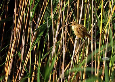 Photograph - Eurasian Reed Warbler, Acrocephalus Scirpaceus by Elenarts - Elena Duvernay photo