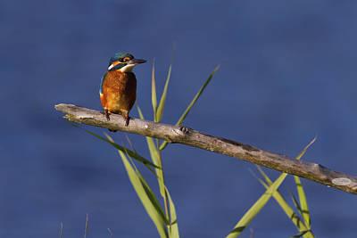 Photograph - Eurasian, River Or Common Kingfisher, Alcedo Atthis, Neuchatel,  by Elenarts - Elena Duvernay photo