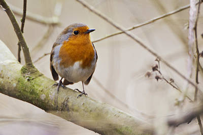 Photograph - Eurasian Robin by Andy Beattie Photography