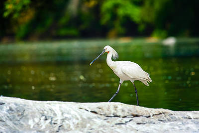 Photograph - Eurasian Spoonbill Walking On The Riverside. by Nila Newsom