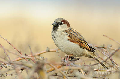 Eurasian Tree Sparrow Art Print