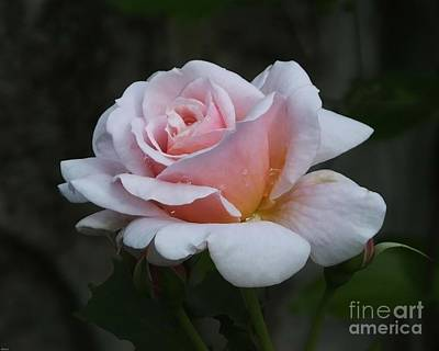 Photograph - Eureka Ar Rose by Lizi Beard-Ward