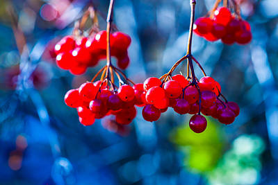 Photograph - European Cranberry Berries by Alexander Senin