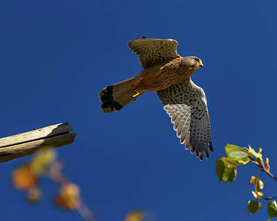 Photograph - European, Eurasian, Common Or Old World Kestrel, Falco Tinnuncul by Elenarts - Elena Duvernay photo