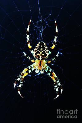 Photograph - European Garden Spider by Alan Harman